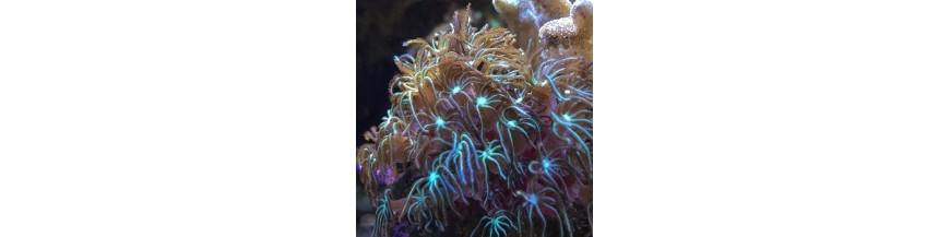 Non Scleractinia coral